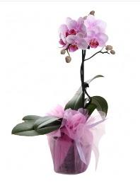 1 dal pembe orkide saksı çiçeği  Antalya Melisa kaliteli taze ve ucuz çiçekler