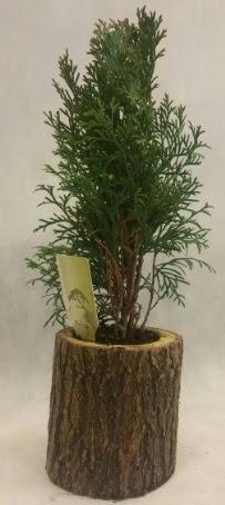 SINIRLI STOK Selvi Bonsai Doğal kütükte  Antalya Melisa Melisa İnternetten çiçek siparişi