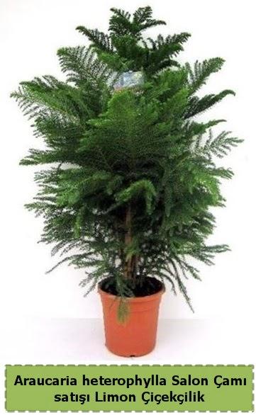 Salon Çamı Satışı Araucaria heterophylla  Antalya Melisa çiçek satışı