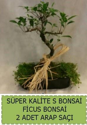 Ficus S Bonsai ve arap saçı  Antalya Melisa çiçekçi telefonları