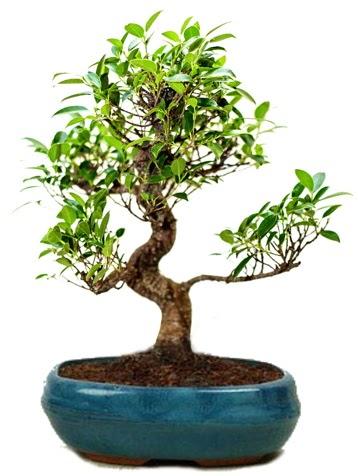 25 cm ile 30 cm aralığında Ficus S bonsai  Antalya Melisa çiçek gönderme sitemiz güvenlidir