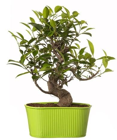 Ficus S gövdeli muhteşem bonsai  Antalya Melisa çiçek siparişi sitesi