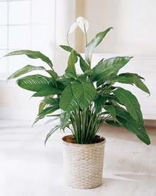 Antalya Melisa online çiçek gönderme sipariş  spatilyum ithal büyük boy