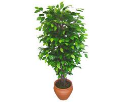 Ficus Benjamin 1,50 cm   Antalya Melisa anneler günü çiçek yolla