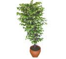 Ficus özel Starlight 1,75 cm   Antalya Melisa cicek , cicekci