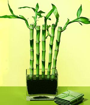 Antalya Melisa anneler günü çiçek yolla  Good Harmony Lucky Bamboo camda