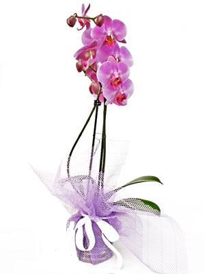Antalya Melisa anneler günü çiçek yolla  Kaliteli ithal saksida orkide