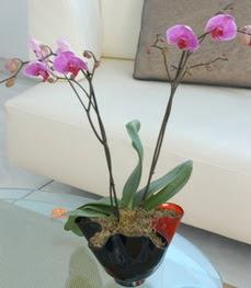 Antalya Melisa çiçekçi mağazası  tek dal ikili orkide saksi çiçegi