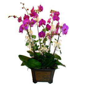 Antalya Melisa cicek , cicekci  4 adet orkide çiçegi