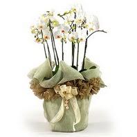 Antalya Melisa çiçek siparişi sitesi  3 dal orkide , saksi çiçegi , 3 kök orkide