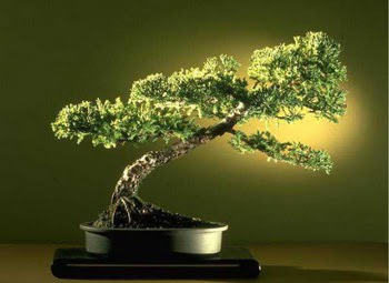 ithal bonsai saksi çiçegi  Antalya Melisa çiçekçi mağazası