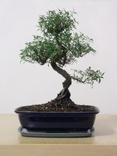 ithal bonsai saksi çiçegi  Antalya Melisa çiçek siparişi vermek