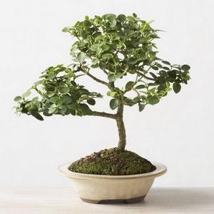 ithal bonsai saksi çiçegi  Antalya Melisa çiçek online çiçek siparişi