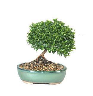 ithal bonsai saksi çiçegi  Antalya Melisa cicekciler , cicek siparisi