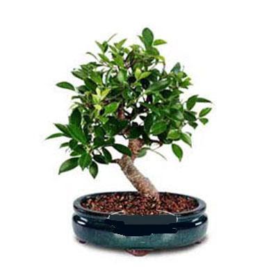 ithal bonsai saksi çiçegi  Antalya Melisa çiçek siparişi sitesi