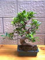 ithal bonsai saksi çiçegi  Antalya Melisa hediye sevgilime hediye çiçek