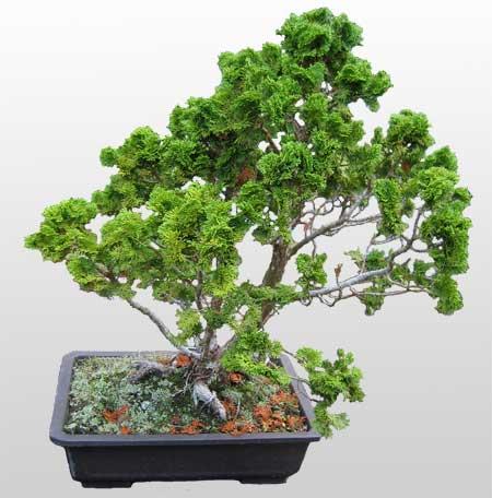 ithal bonsai saksi çiçegi  Antalya Melisa Melisa İnternetten çiçek siparişi