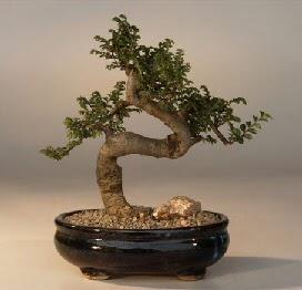 ithal bonsai saksi çiçegi  Antalya Melisa 14 şubat sevgililer günü çiçek