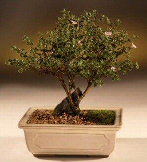 ithal bonsai saksi çiçegi  Antalya Melisa çiçek mağazası , çiçekçi adresleri