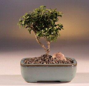 Antalya Melisa çiçek yolla  ithal bonsai saksi çiçegi  Antalya Melisa internetten çiçek satışı