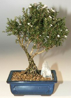 Antalya Melisa çiçek , çiçekçi , çiçekçilik  ithal bonsai saksi çiçegi  Antalya Melisa online çiçek gönderme sipariş