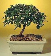 Antalya Melisa ucuz çiçek gönder  ithal bonsai saksi çiçegi  Antalya Melisa cicek , cicekci