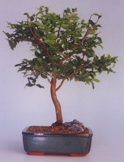Antalya Melisa ucuz çiçek gönder  ithal bonsai saksi çiçegi  Antalya Melisa anneler günü çiçek yolla