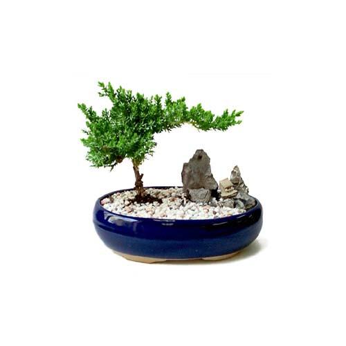 ithal bonsai saksi çiçegi  Antalya Melisa çiçek gönderme