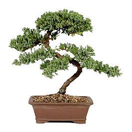 ithal bonsai saksi çiçegi  Antalya Melisa çiçek gönderme sitemiz güvenlidir