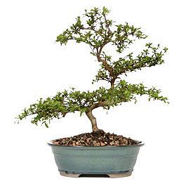 Antalya Melisa Melisa İnternetten çiçek siparişi  ithal bonsai saksi çiçegi  Antalya Melisa çiçek gönderme sitemiz güvenlidir