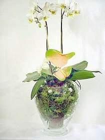 Antalya Melisa çiçek satışı  Cam yada mika vazoda özel orkideler