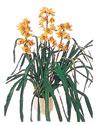 Antalya Melisa çiçekçiler  Orchiede ithal büyük boy saksi