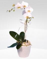 1 dallı orkide saksı çiçeği  Antalya Melisa online çiçekçi , çiçek siparişi