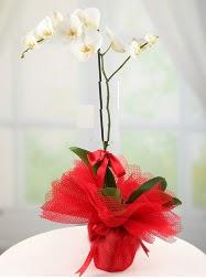 1 dal beyaz orkide saksı çiçeği  Antalya Melisa yurtiçi ve yurtdışı çiçek siparişi