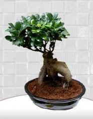saksı çiçeği japon ağacı bonsai  Antalya Melisa kaliteli taze ve ucuz çiçekler