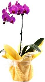 Antalya Melisa çiçek siparişi sitesi  Tek dal mor orkide saksı çiçeği