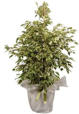 Orta boy alaca benjamin bitkisi  Antalya Melisa internetten çiçek satışı