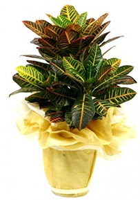 Orta boy kraton saksı çiçeği  Antalya Melisa 14 şubat sevgililer günü çiçek