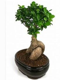 Bonsai saksı bitkisi japon ağacı  Antalya Melisa çiçek siparişi sitesi
