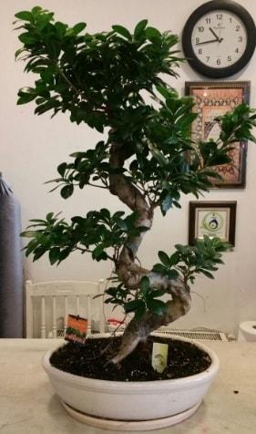 100 cm yüksekliğinde dev bonsai japon ağacı  Antalya Melisa Melisa İnternetten çiçek siparişi