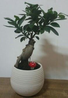 Bonsai japon ağacı saksı çiçeği  Antalya Melisa çiçek gönderme sitemiz güvenlidir