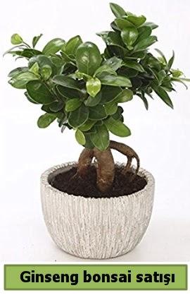Ginseng bonsai japon ağacı satışı  Antalya Melisa çiçekçi telefonları