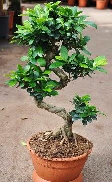 Orta boy bonsai saksı bitkisi  Antalya Melisa internetten çiçek siparişi