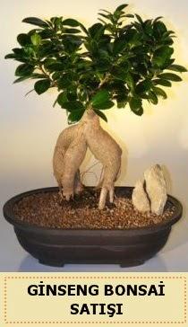 İthal Ginseng bonsai satışı japon ağacı  Antalya Melisa çiçek siparişi sitesi
