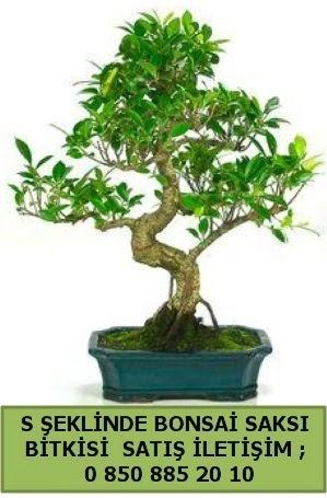 İthal S şeklinde dal eğriliği bonsai satışı  Antalya Melisa çiçek gönderme