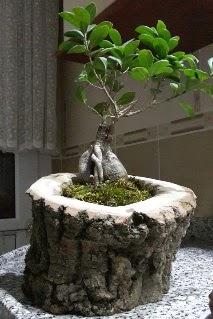 Ahşap kütük içerisinde ginseng bonsai  Antalya Melisa internetten çiçek siparişi