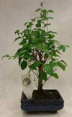 Minyatür bonsai japon ağacı satışı  Antalya Melisa çiçekçi telefonları