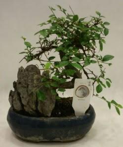 İthal 1.ci kalite bonsai japon ağacı  Antalya Melisa çiçek satışı