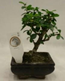 Küçük minyatür bonsai japon ağacı  Antalya Melisa çiçek gönderme