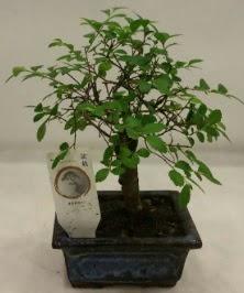 Minyatür ithal japon ağacı bonsai bitkisi  Antalya Melisa çiçek satışı